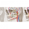 http://laurinemoreau.com/corps-humain/anatomie-visage/
