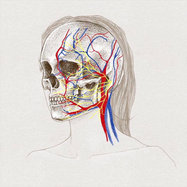 Anatomie • Visage | Laurine Moreau • Illustration Scientifique