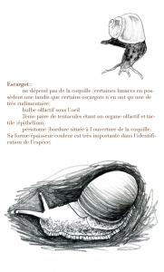 Etude d'illustration scientifique des gastéropodes, et plus spécifiquement des escargots.