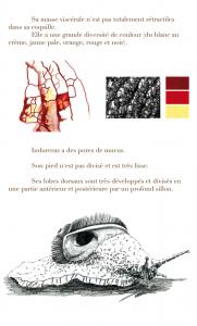 Etude d'illustration scientifique d'Indrella Ampulla, espèce gastéropode, escargot.