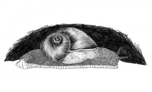 Illustration scientifique d'une espèce de gastéropode, l'escargot Indrella Ampulla.