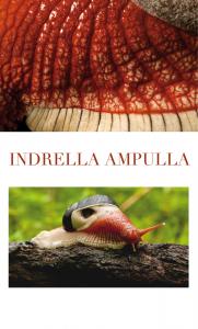 Photographie de zoologie de l'escargot Indrella Ampulla