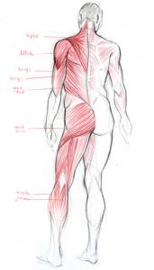 Dessin de morphologie du corps humain montrant les muscles en vue postérieure (dos, fesse, jambe et bras)