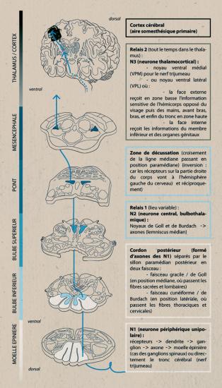 Neuroanatomie laurine moreau illustration scientifique for Influx nerveux