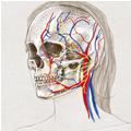 Anatomie – Visage