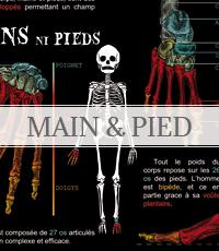 anatomie des mains et pieds