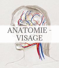 anatomie du visage