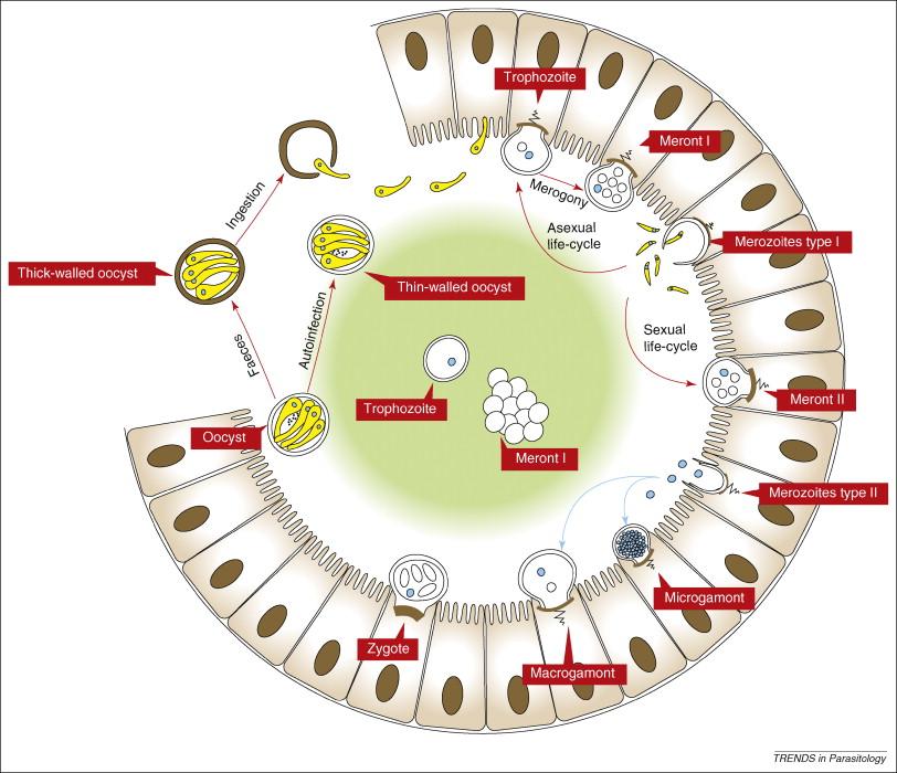 Parasites - Cryptosporidium - Laurine Moreau