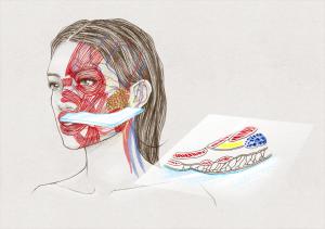 Visage de femme, muscles, veines, artères, nerfs et coupe des muscles de la joue (montrant la glande parotide en bleu, un coussinet adipeux en jaune et divers muscles faciaux).